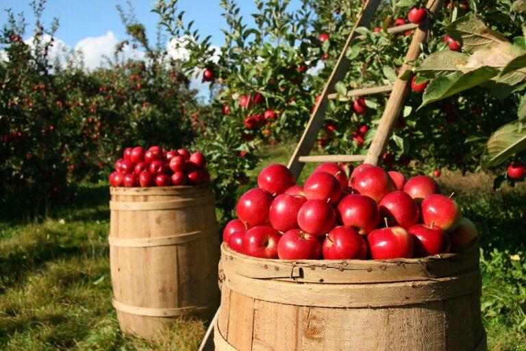 Der Apfelbaum im Garten